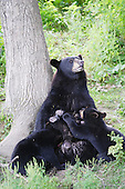 A Black Bear breast feeding her two cubs under a tree.