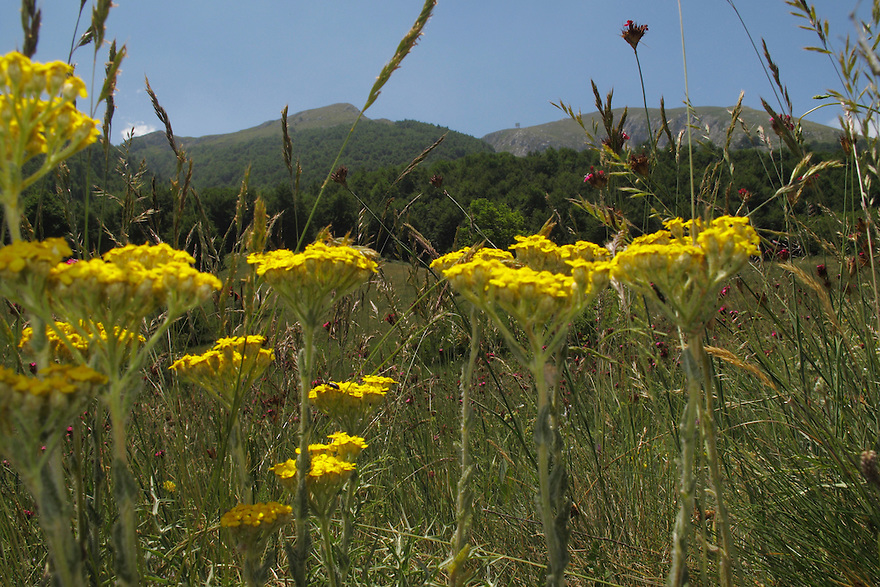 Yellow Yarrow, Achillea filipendulina (Gold Plate), Mountain pasture, Mount Baba (1635 m) in Galicica National Park, Macedonia, with Mount Magaro / Marapo (2254m) in background.<br /> Stenje region, Lake Macro Prespa (850m) <br /> Galicica National Park, Macedonia, June 2009<br /> Mission: Macedonia, Lake Macro Prespa /  Lake Ohrid, Transnational Park<br /> David Maitland / Wild Wonders of Europe