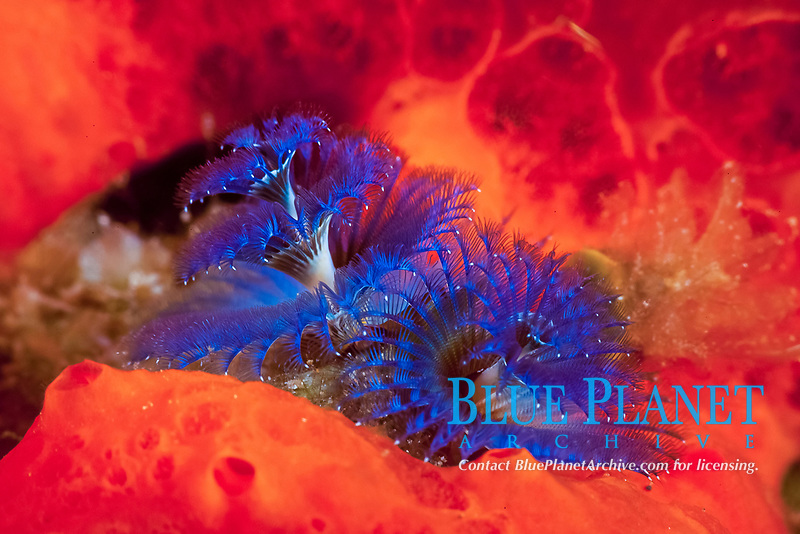 This blue spiral fan is the only part of the Christmas tree worm, Spirobranchus giganteus, that is visible on the reef. They are used for feeding and respiration. The surrounding orange is a sponge. Maui, Hawaii.