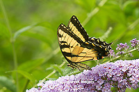 03023-02704 Eastern Tiger Swallowtail butterfly (Papilio glaucus) on Butterfly Bush (Buddleia davidii) Marion Co., IL