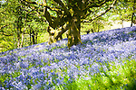 Bluebells, Hyacinthoides non-scripta, flowering in deciduous woodland on Martinsell Hill, Pewsey, Wiltshire England