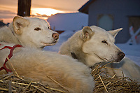 Gene Smith's lead dogs rest as the sun rises on Thursday morning at Takotna during the 2008 Iditarod