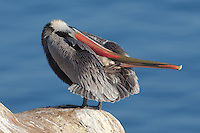 California Brown Pelican (Pelecanus occidentalis) stretching and preening on a cliff over the Pacific ocean, La Jolla, California