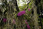 Singapore: Orto Botanico. ospita numerossissime specie di piante tra cui numerose specie di orchide piante x le quali Singapore va famosa. NELLA FOTO UN' ORCHIDEA