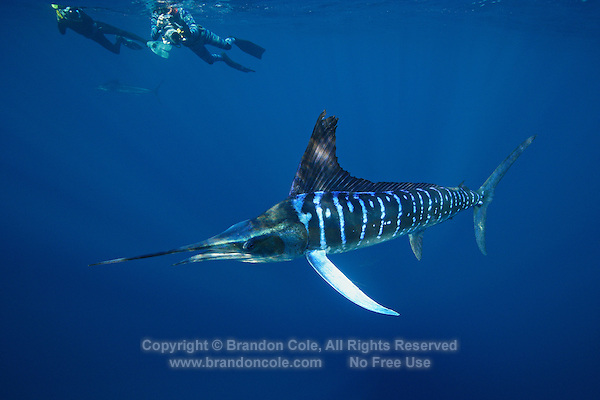 qf2709-D. Striped Marlin (Tetrapturus audax) and underwater photographers. Baja, Mexico, Pacific Ocean..Photo Copyright © Brandon Cole. All rights reserved worldwide.  www.brandoncole.com..This photo is NOT free. It is NOT in the public domain. This photo is a Copyrighted Work, registered with the US Copyright Office. .Rights to reproduction of photograph granted only upon payment in full of agreed upon licensing fee. Any use of this photo prior to such payment is an infringement of copyright and punishable by fines up to  $150,000 USD...Brandon Cole.MARINE PHOTOGRAPHY.http://www.brandoncole.com.email: brandoncole@msn.com.4917 N. Boeing Rd..Spokane Valley, WA  99206  USA.tel: 509-535-3489