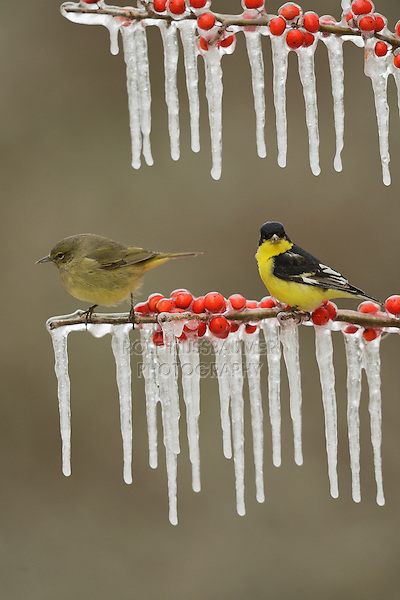 Lesser Goldfinch (Carduelis psaltria), adult male perched on icy branch of Possum Haw Holly (Ilex decidua) with berries and Orange-crowned Warbler (Vermivora celata) , Hill Country, Texas, USA