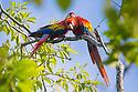Scarlet Macaw pair (Ara macao) Osa Peninsula, Costa Rica, May.