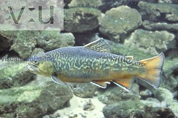 Tiger Trout, a hybrid between the Brown Trout (Salmo trutta) and the Brook Trout (Salvelinus fontinalis), North America.