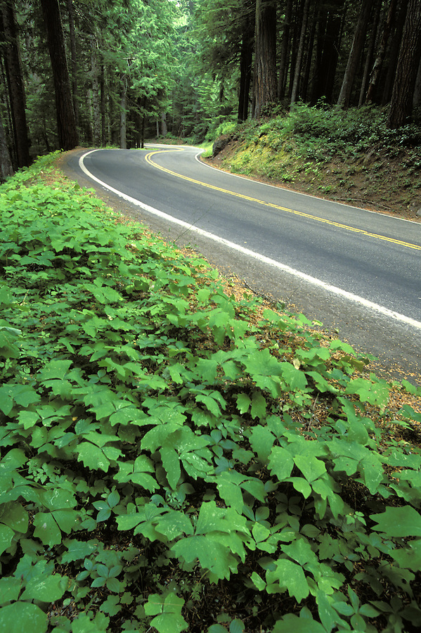 Road lined with vanilla leaf and Canadian dogwood through forest, Mount Rainier National Park, Cascade Mountains, Washington