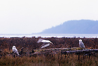 Snowy Owls (Bubo scandiacus) Female or Juvenile, sitting on Log and flying at Boundary Bay Regional Park, Delta, BC, British Columbia, Canada - aka Arctic Owl, Great White Owl or Harfang.