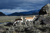 Pronghorns in Yellowstone