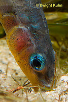 1S22-500z  Male Threespine Stickleback, Mating colors showing bright red belly and blue eyes, pushing plant material into nest, Gasterosteus aculeatus,  Hotel Lake British Columbia...