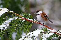A chestnut-backed chickadee (Poecile rufescens) is perched on a snow cover cedar tree branch during a Winter's day