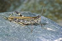 Fluss-Strandschrecke, Fluß-Strandschrecke, Männchen, Epacromius tergestinus, River Blue-legged Grasshopper, male, L'Oedipode des salines