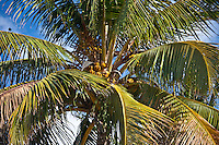 Royal Palm tree, Roystonea coconut palm, with bird on branch in South Beach, Miami, Florida, United States of America
