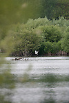 Black headed Tern,   Radley Lakes , Abingdon, Oxfordshire