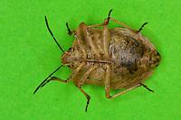 Nördliche Fruchtwanze, Stechrüssel, Saugrüssel, Rüssel, Rostrum ist in Ruhestellung auf der Körperunterseite zwischen den Beinen zurückgeklappt, stechend-saugende Mundwerkzeuge, Mundwerkzeug, Baumwanze, Carpocoris fuscispinus, stink bug