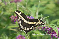 03017-01504 Giant Swallowtail (Papilio cresphontes) on Butterfly Bush (Buddleja davidii) Marion Co. IL
