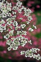 Flowering Dogwood tree in front of distant azalea blossoms, Cornus florida, Louisville, Kentucky