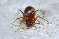 Ameisenjäger, Zodarion italicum, ant-eating spider, Zodariidae, Ameisenjäger