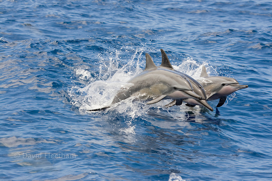 Spinner dolphin, Stenella longirostris, leap into the air at the same time, Hawaii.