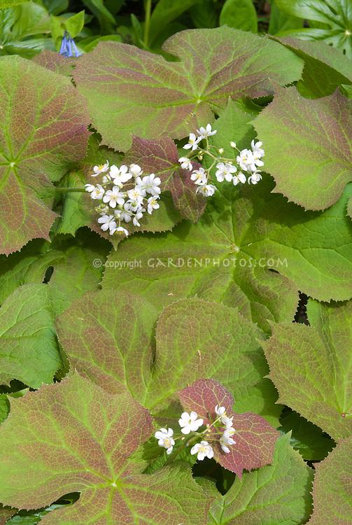 Diphylleia cymosa (Umbrella leaf) in spring flowers