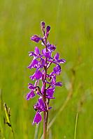 Sumpf-Knabenkraut, Sumpfknabenkraut, Anacamptis palustris, Orchis palustris, bog orchid, Orchis des marais