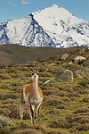 Guanaco (Lama guanicoe) in pre-andean shrubland, Torres del Paine National Park, Patagonia, Chile
