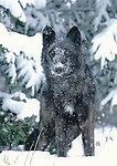 Gray wolf in snow, 4x6 postcard