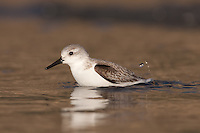 Sanderling (Calidris alba) bathing in the shallow surf at the seashore