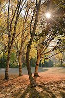 Birch Trees, Washington