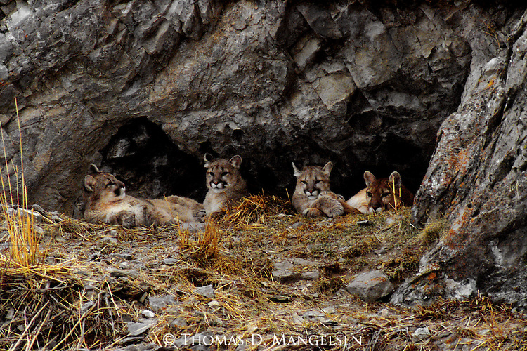 A mother mountain lion and her three cubs lay in their den resting on the National Elk Refuge in Jackson, Wyoming.