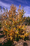 12864-CS American Persimmon in fruit, Diospyros virginiana, Autumn, female of dioecious species, in October, at Mourning Cloak Ranch, Tehachapi, CA USA