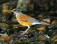 Rufous-backed robin