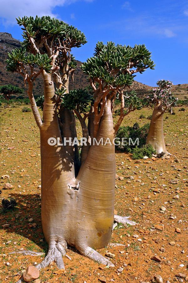 Arvore Boaba ( Adansonia). Reserva Homhil. Ilha de Socotra. Yemen. 2008. Foto de Caio Vilela.