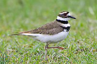 Kildeer walking through a field