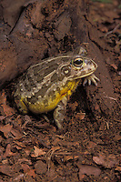 African Bull Frog aka Pyxie Frog..Native to Southern Africa..Captive. Pyxicephalus adspersus.