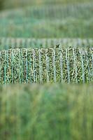 Big bales of silage....Copyright..John Eveson, Dinkling Green Farm, Whitewell, Clitheroe, Lancashire. BB7 3BN.01995 61280. 07973 482705.j.r.eveson@btinternet.com.www.johneveson.com