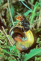Zweifarbige Schneckenhaus-Mauerbiene, Zweifarbige Schneckenhausbiene, Zweifarbige Mauerbiene, an Schneckengehäuse, Schneckenhaus, Gehäuse, Osmia bicolor, Mauerbienen, Mason bee, Mason bees