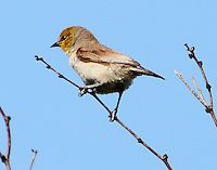Female verdin