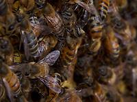 In the hive, the bees live in total darkness.<br /> Dans la ruche, les abeilles vivent dans le noir total.