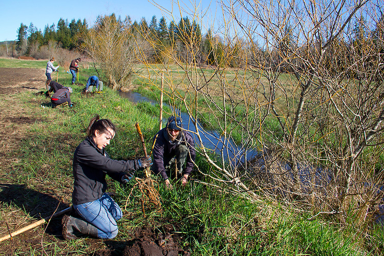 Volunteers planting trees, Eaglemount Farms, Chimacum Creek, North Olympic Salmon Coalition, Jefferson County, Washington State, Pacific Northwest, United States, habitat restoration,