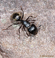 0109-0901  Black Carpenter Ant on Rock Foraging for Food, Camponotus pennsylvanicus © David Kuhn/Dwight Kuhn Photography.