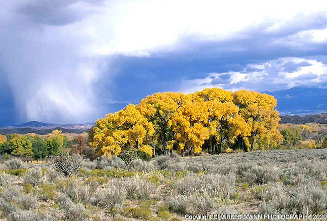 A stormy October sky dramatizes some cottonwoods in fall color near Espanola, New Mexico with the snowy Sangre de Cristo Mountains in the background.