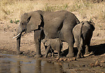 African Elephant in the Tarangire National Park.(Loxodonta africana).with young during the dry season..August 13, 2006.© Fitzroy Barrett.