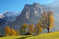 Autumn trees in the Swiss Alps, Grindelwald, Switzerland