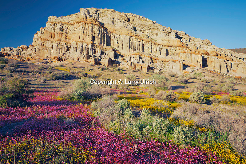 Palmer's monkeyflower<br />   and California goldfields<br /> Red Rock Canyon State Park<br /> Mojave Desert,  California
