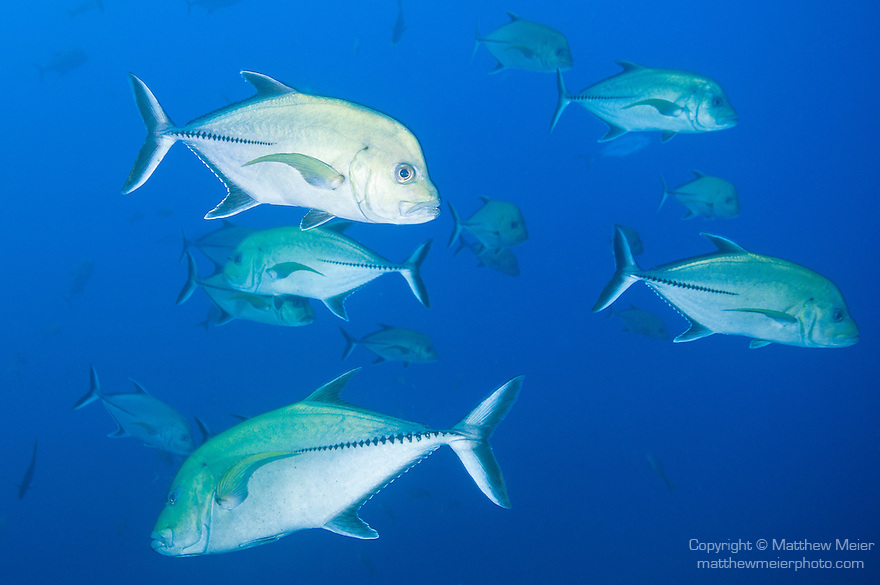 The Boiler dive site, San Benedicto Island, Revillagigedos Islands, Mexico; a school of Black Jack (Caranx lugubris) fish