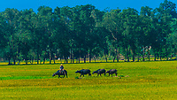 Farmer leading his water buffalo through rice paddies in the countryside outside Hue, Central Vietnam.