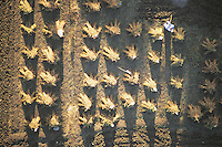 A farm labourer, viewed from a hot air balloon above the fertile irrigated Nile plain near Luxor, ties the corn into bundles.
